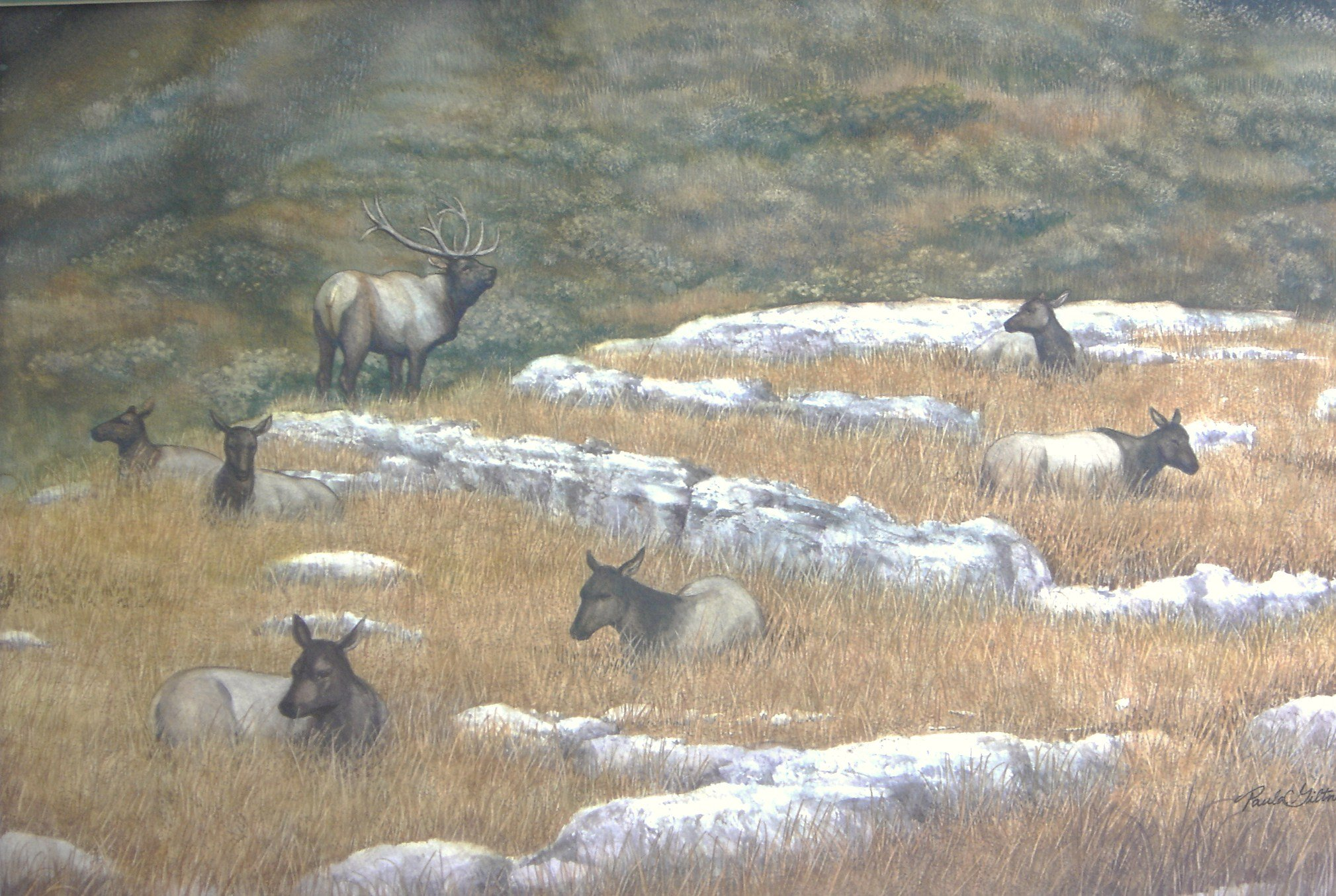 elks in yellowstone